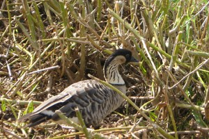 Nene goose, the Hawaii state bird, an endangered species found at the Kilauea Lighthouse, Kauai Hawaii