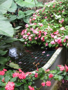 Backyard aquaponics tank smothered in flowers.