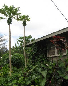 Papaya trees and dry land taro.
